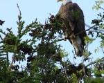Cherryfield Eagle